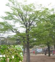 红花木莲、乳源木莲、观光木、猴樟、喜树小苗