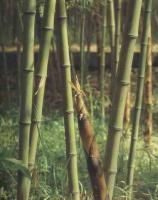 铺地竹、菲白竹、罗汉竹、碧玉间黄金竹、黄纹竹