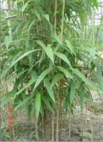 矢竹、盆载苗