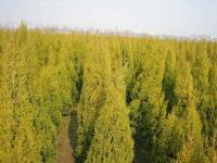 各种规格金冠柏工程苗、金冠柏种苗