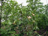 红花木莲、乳源木莲、观光木、猴樟