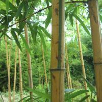 黄甜竹、白哺鸡竹、乌哺鸡竹、高节竹、湘妃竹