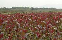金叶龟甲冬青、红叶石楠、红继木小苗