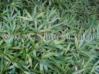 黄条金刚竹、铺地竹、翠竹、鹅毛竹