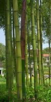 红竹、紫竹、早竹、刚竹、毛竹、篌竹(枪刀竹)