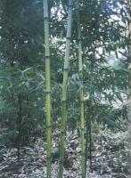 青皮刚竹、黄皮刚竹、黄古竹、黄金竹、淡竹等