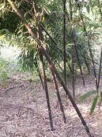 紫竹、金镶玉竹、黄杆乌哺鸡竹、黄杆京竹、红竹