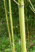 金镶玉竹紫竹黄杆乌哺鸡竹红竹枪刀竹(篌竹)