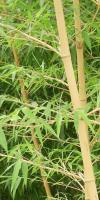 黄杆乌哺鸡竹(黄金竹)、金镶玉竹、黄杆京竹等