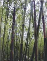 水竹、石竹、木竹、苦竹、淡竹、茶杆竹、高节竹