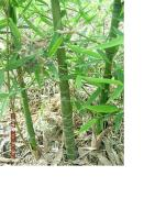 罗汉竹(人面竹)、龟甲竹、少穗竹、橄榄竹等