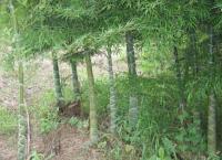 龟甲竹、罗汉竹、佛肚竹、辣韭矢竹、方竹