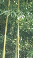 苦竹、石竹、水竹、木竹、篌竹(枪刀竹)等