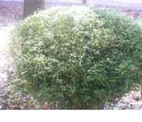 凤尾竹、菲黄竹、菲白竹、铺地竹、鸡毛竹、翠竹