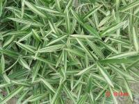 菲白竹、菲黄竹、铺地竹、翠竹、鸡毛竹等