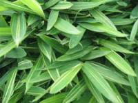 铺地竹、翠竹、菲白竹、菲黄竹、鸡毛竹、箬竹