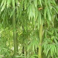 橄榄竹、少穗竹(大黄苦竹)、斑竹、辣韭矢竹等