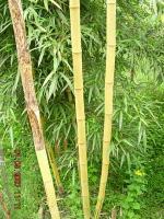黄杆乌哺鸡竹、金镶玉竹、黄秆京竹、金明竹