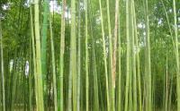 乌哺鸡竹、白哺鸡竹、早园竹、雷竹、高节竹