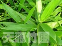 黄条金刚竹