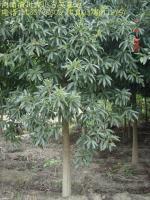 刺槐、柿树、白腊、重阳木、乌桕、香椿、臭椿树、广玉兰、白玉兰