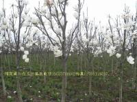 白玉兰,紫玉兰,龙爪槐,白腊,水杉,深山含笑,速生杨,垂榆树