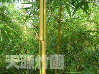 黄秆乌哺鸡竹竹苗