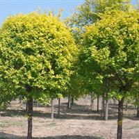 大叶含笑、红花七叶树、香樟、银杏、国槐、黄金槐、香花槐、盘槐