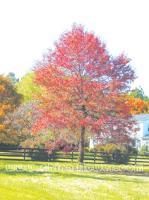 大量蓝果树、桂花、紫薇、红叶李、黄山栾树、七叶树