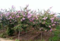 柳杉、速生杨价格107杨69杨、白腊、楸树杜英、重阳木、柿树