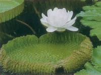 王莲(水生植物)