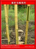 黄秆乌哺鸡竹(黄杆乌哺鸡竹、黄杆哺鸡竹)