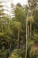 白哺鸡竹(象牙竹)