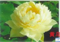 黄鸟(荷花)---千屈菜、再力花、王莲