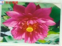 大红樱桃(荷花)---千屈菜、再力花、王莲