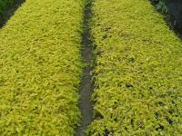 金叶过路黄、金丝桃、金边水腊、金叶瓜子黄杨