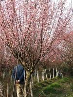 梅花树,骨里红梅树,红梅,珍珠梅树