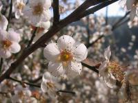白梅、榆叶梅、照水梅、垂枝梅树、红叶碧桃树、红碧桃树、垂枝桃