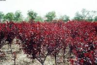 红叶李树,紫叶李树,夹竹桃树,寿星桃,棕榈树,四季含笑球
