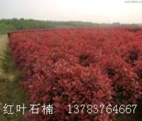 红叶石楠球价格,独杆红叶石楠价格,独杆小叶女贞价格,独杆水腊
