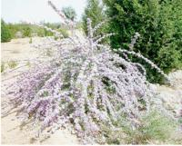 紫花醉鱼木、天目琼花、木槿