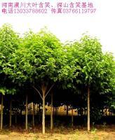 七叶树、香樟树、银杏树、国槐、香花槐树、盘槐、龙爪槐