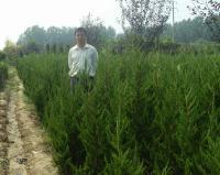 法桐,龙柏,红枫,红叶小檗等园林绿化苗木 花灌木类 乔木类