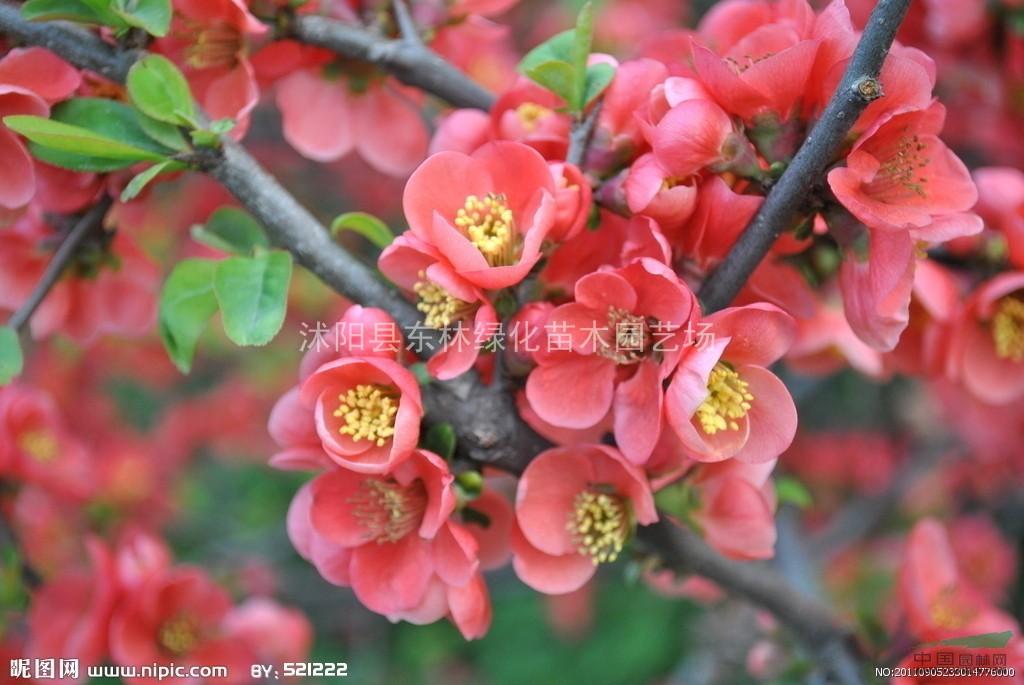 扶芳藤、卫矛、蔷薇、红帽、黄帽、马海木、萨木莎、丰花月季