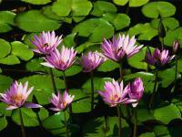 水生植物,芡实,鸡头莲,荷花,菱角,菖蒲,水葱,浮萍