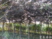 榉树 红榉 血榉 江苏榉树 最新报价榉树 精品红榉