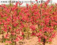 红宝石海棠,四季海棠,梨花海棠,铺地海棠,棣棠,马尼拉草坪