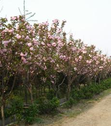 木槿、意杨、黄连木、蜀桧、红枫、樱花