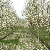 白玉兰、樱花、青桐、栀子花、耐寒广玉兰、紫荆、紫玉兰、鸡爪槭
