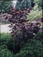 紫叶加拿大紫荆、紫叶风箱果、金叶风箱果、金叶山梅花、金叶莸、金叶锦带、
